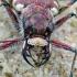 Cicindela hybrida - Baltalūpis šoklys | Fotografijos autorius : Romas Ferenca | © Macrogamta.lt | Šis tinklapis priklauso bendruomenei kuri domisi makro fotografija ir fotografuoja gyvąjį makro pasaulį.