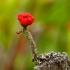 Laiboji šiurė - Cladonia macilenta | Fotografijos autorius : Romas Ferenca | © Macrogamta.lt | Šis tinklapis priklauso bendruomenei kuri domisi makro fotografija ir fotografuoja gyvąjį makro pasaulį.