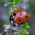 Septyntaškė boružė - Coccinella septempunctata   Fotografijos autorius : Romas Ferenca   © Macrogamta.lt   Šis tinklapis priklauso bendruomenei kuri domisi makro fotografija ir fotografuoja gyvąjį makro pasaulį.