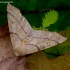 Rudasis rudeninis sprindžius - Colotois pennaria | Fotografijos autorius : Romas Ferenca | © Macrogamta.lt | Šis tinklapis priklauso bendruomenei kuri domisi makro fotografija ir fotografuoja gyvąjį makro pasaulį.