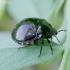 Dobilinė kamuolblakė - Coptosoma scutellatum   Fotografijos autorius : Romas Ferenca   © Macrogamta.lt   Šis tinklapis priklauso bendruomenei kuri domisi makro fotografija ir fotografuoja gyvąjį makro pasaulį.