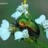 Cryptocephalus sericeus - Žaliasis paslėptagalvis | Fotografijos autorius : Romas Ferenca | © Macrogamta.lt | Šis tinklapis priklauso bendruomenei kuri domisi makro fotografija ir fotografuoja gyvąjį makro pasaulį.