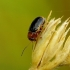 Cryptocephalus pusillus - Drebulinis paslėptagalvis | Fotografijos autorius : Romas Ferenca | © Macrogamta.lt | Šis tinklapis priklauso bendruomenei kuri domisi makro fotografija ir fotografuoja gyvąjį makro pasaulį.