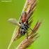 Cylindromyia pusilla - Dygliamusė | Fotografijos autorius : Romas Ferenca | © Macrogamta.lt | Šis tinklapis priklauso bendruomenei kuri domisi makro fotografija ir fotografuoja gyvąjį makro pasaulį.