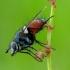 Eriothrix rufomaculata - Dygliamusė | Fotografijos autorius : Romas Ferenca | © Macrogamta.lt | Šis tinklapis priklauso bendruomenei kuri domisi makro fotografija ir fotografuoja gyvąjį makro pasaulį.