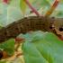 Pievinis sfinksas - Deilephila elpenor (vikšras) | Fotografijos autorius : Romas Ferenca | © Macrogamta.lt | Šis tinklapis priklauso bendruomenei kuri domisi makro fotografija ir fotografuoja gyvąjį makro pasaulį.