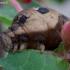 Pievinis sfinksas - Deilephila elpenor | Fotografijos autorius : Romas Ferenca | © Macrogamta.lt | Šis tinklapis priklauso bendruomenei kuri domisi makro fotografija ir fotografuoja gyvąjį makro pasaulį.