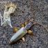 Šiaurinis plokščiavabalis - Dendrophagus crenatus  | Fotografijos autorius : Romas Ferenca | © Macrogamta.lt | Šis tinklapis priklauso bendruomenei kuri domisi makro fotografija ir fotografuoja gyvąjį makro pasaulį.