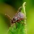 Pievinė erkė - Dermacentor reticulatus | Fotografijos autorius : Romas Ferenca | © Macrogamta.lt | Šis tinklapis priklauso bendruomenei kuri domisi makro fotografija ir fotografuoja gyvąjį makro pasaulį.
