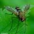 Dexiosoma caninum - Dygliamusė   Fotografijos autorius : Romas Ferenca   © Macrogamta.lt   Šis tinklapis priklauso bendruomenei kuri domisi makro fotografija ir fotografuoja gyvąjį makro pasaulį.
