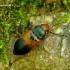 Diachromus germanus - Vokiškasis žygis | Fotografijos autorius : Romas Ferenca | © Macrogamta.lt | Šis tinklapis priklauso bendruomenei kuri domisi makro fotografija ir fotografuoja gyvąjį makro pasaulį.