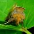 Žaliasis juostuotasis žvilgūnas - Diachrysia tutti | Fotografijos autorius : Romas Ferenca | © Macrogamta.lt | Šis tinklapis priklauso bendruomenei kuri domisi makro fotografija ir fotografuoja gyvąjį makro pasaulį.