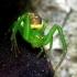 Diaea dorsata - Rudasis lapavoris | Fotografijos autorius : Romas Ferenca | © Macrogamta.lt | Šis tinklapis priklauso bendruomenei kuri domisi makro fotografija ir fotografuoja gyvąjį makro pasaulį.