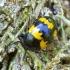 Raštuotasis juodvabalis - Diaperis boleti | Fotografijos autorius : Romas Ferenca | © Macrogamta.lt | Šis tinklapis priklauso bendruomenei kuri domisi makro fotografija ir fotografuoja gyvąjį makro pasaulį.