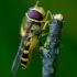 Serbentinė žiedmusė - Syrphus ribesii  | Fotografijos autorius : Romas Ferenca | © Macrogamta.lt | Šis tinklapis priklauso bendruomenei kuri domisi makro fotografija ir fotografuoja gyvąjį makro pasaulį.