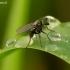 Ilgakojė muselė - Dolchopodidae   Fotografijos autorius : Romas Ferenca   © Macrogamta.lt   Šis tinklapis priklauso bendruomenei kuri domisi makro fotografija ir fotografuoja gyvąjį makro pasaulį.