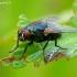 Tikramusė - Eudasyphora cyanicolor  | Fotografijos autorius : Romas Ferenca | © Macrogamta.lt | Šis tinklapis priklauso bendruomenei kuri domisi makro fotografija ir fotografuoja gyvąjį makro pasaulį.
