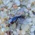 Mėsmusė - Taxigramma elegantula | Fotografijos autorius : Romas Ferenca | © Macrogamta.lt | Šis tinklapis priklauso bendruomenei kuri domisi makro fotografija ir fotografuoja gyvąjį makro pasaulį.