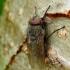 Pollenia sp. - Pilkoji lavonmusė | Fotografijos autorius : Romas Ferenca | © Macrogamta.lt | Šis tinklapis priklauso bendruomenei kuri domisi makro fotografija ir fotografuoja gyvąjį makro pasaulį.