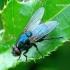 Eudasyphora cyanicolor - Tikramusė | Fotografijos autorius : Romas Ferenca | © Macrogamta.lt | Šis tinklapis priklauso bendruomenei kuri domisi makro fotografija ir fotografuoja gyvąjį makro pasaulį.