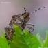 Dolycoris baccarum - Uoginė skydblakė | Fotografijos autorius : Romas Ferenca | © Macrogamta.lt | Šis tinklapis priklauso bendruomenei kuri domisi makro fotografija ir fotografuoja gyvąjį makro pasaulį.