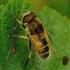Eristalis arbustorum - Bitmusė | Fotografijos autorius : Romas Ferenca | © Macrogamta.lt | Šis tinklapis priklauso bendruomenei kuri domisi makro fotografija ir fotografuoja gyvąjį makro pasaulį.