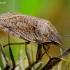Lenktagalvė vėžliablakė - Eurygaster testudinaria | Fotografijos autorius : Romas Ferenca | © Macrogamta.lt | Šis tinklapis priklauso bendruomenei kuri domisi makro fotografija ir fotografuoja gyvąjį makro pasaulį.