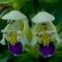 Geltonžiedė aklė - Galeopsis speciosa | Fotografijos autorius : Romas Ferenca | © Macrogamta.lt | Šis tinklapis priklauso bendruomenei kuri domisi makro fotografija ir fotografuoja gyvąjį makro pasaulį.