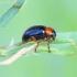 Gastrophysa polygoni - Tikrasis rūgtinukas | Fotografijos autorius : Romas Ferenca | © Macrogamta.lt | Šis tinklapis priklauso bendruomenei kuri domisi makro fotografija ir fotografuoja gyvąjį makro pasaulį.