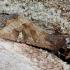 Baltataškis pelkinukas - Helotropha leucostigma | Fotografijos autorius : Romas Ferenca | © Macrogamta.lt | Šis tinklapis priklauso bendruomenei kuri domisi makro fotografija ir fotografuoja gyvąjį makro pasaulį.