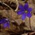 Triskiautė žibuoklė - Hepatica nobilis | Fotografijos autorius : Romas Ferenca | © Macrogamta.lt | Šis tinklapis priklauso bendruomenei kuri domisi makro fotografija ir fotografuoja gyvąjį makro pasaulį.