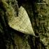 Ūsuotasis sprindinis naktinukas - Pechipogo strigilata | Fotografijos autorius : Romas Ferenca | © Macrogamta.lt | Šis tinklapis priklauso bendruomenei kuri domisi makro fotografija ir fotografuoja gyvąjį makro pasaulį.