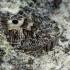 Hipparchia semele - Pušyninis satyras | Fotografijos autorius : Romas Ferenca | © Macrogamta.lt | Šis tinklapis priklauso bendruomenei kuri domisi makro fotografija ir fotografuoja gyvąjį makro pasaulį.