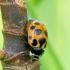 Hippodamia notata - Dilgėlinė boružė | Fotografijos autorius : Romas Ferenca | © Macrogamta.lt | Šis tinklapis priklauso bendruomenei kuri domisi makro fotografija ir fotografuoja gyvąjį makro pasaulį.