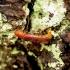 Hylecoetus dermestoides - Lapuotinis grąžtvabalis | Fotografijos autorius : Romas Ferenca | © Macrogamta.lt | Šis tinklapis priklauso bendruomenei kuri domisi makro fotografija ir fotografuoja gyvąjį makro pasaulį.