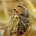 Hylobius abietis - Didysis pušinis straubliukas | Fotografijos autorius : Romas Ferenca | © Macrogamta.lt | Šis tinklapis priklauso bendruomenei kuri domisi makro fotografija ir fotografuoja gyvąjį makro pasaulį.