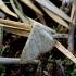 Miškinis sprindžiukas - Idaea sylvestraria | Fotografijos autorius : Romas Ferenca | © Macrogamta.lt | Šis tinklapis priklauso bendruomenei kuri domisi makro fotografija ir fotografuoja gyvąjį makro pasaulį.