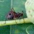 Margasis ąžuolinis amaras - Lachnus roboris | Fotografijos autorius : Romas Ferenca | © Macrogamta.lt | Šis tinklapis priklauso bendruomenei kuri domisi makro fotografija ir fotografuoja gyvąjį makro pasaulį.