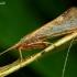 Limnephilus flavicornis – Apsiuva   Fotografijos autorius : Romas Ferenca   © Macrogamta.lt   Šis tinklapis priklauso bendruomenei kuri domisi makro fotografija ir fotografuoja gyvąjį makro pasaulį.
