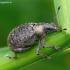 Liophloeus tessulatus - Barštinis straubliukas | Fotografijos autorius : Romas Ferenca | © Macrogamta.lt | Šis tinklapis priklauso bendruomenei kuri domisi makro fotografija ir fotografuoja gyvąjį makro pasaulį.