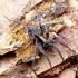Pardosa sp. - Šuolininkas | Fotografijos autorius : Romas Ferenca | © Macrogamta.lt | Šis tinklapis priklauso bendruomenei kuri domisi makro fotografija ir fotografuoja gyvąjį makro pasaulį.