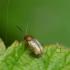 Paprastoji šilingspragė - Lythraria salicariae | Fotografijos autorius : Romas Ferenca | © Macrogamta.lt | Šis tinklapis priklauso bendruomenei kuri domisi makro fotografija ir fotografuoja gyvąjį makro pasaulį.