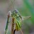Metrioptera roeselii - Paprastasis spragtukas | Fotografijos autorius : Romas Ferenca | © Macrogamta.lt | Šis tinklapis priklauso bendruomenei kuri domisi makro fotografija ir fotografuoja gyvąjį makro pasaulį.