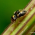 Liocoris tripustulatus - Geltonmargė žolblakė | Fotografijos autorius : Romas Ferenca | © Macrogamta.lt | Šis tinklapis priklauso bendruomenei kuri domisi makro fotografija ir fotografuoja gyvąjį makro pasaulį.