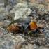 Mordellochroa abdominalis - Gelsvapilvis dygliavabalis | Fotografijos autorius : Romas Ferenca | © Macrogamta.lt | Šis tinklapis priklauso bendruomenei kuri domisi makro fotografija ir fotografuoja gyvąjį makro pasaulį.