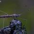 Tikroji lazdablakė - Neides tipularius | Fotografijos autorius : Romas Ferenca | © Macrogamta.lt | Šis tinklapis priklauso bendruomenei kuri domisi makro fotografija ir fotografuoja gyvąjį makro pasaulį.
