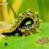 Nematus sp. - Pjūklelis | Fotografijos autorius : Romas Ferenca | © Macrogamta.lt | Šis tinklapis priklauso bendruomenei kuri domisi makro fotografija ir fotografuoja gyvąjį makro pasaulį.