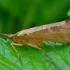 Apsiuva - Nemotaulius punctatolineatus | Fotografijos autorius : Romas Ferenca | © Macrogamta.lt | Šis tinklapis priklauso bendruomenei kuri domisi makro fotografija ir fotografuoja gyvąjį makro pasaulį.