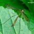 Cylindrotoma distinctissima - Ilgakojis uodas | Fotografijos autorius : Romas Ferenca | © Macrogamta.lt | Šis tinklapis priklauso bendruomenei kuri domisi makro fotografija ir fotografuoja gyvąjį makro pasaulį.