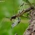 Ilgakojis uodas - Nephrotoma sp. | Fotografijos autorius : Romas Ferenca | © Macrogamta.lt | Šis tinklapis priklauso bendruomenei kuri domisi makro fotografija ir fotografuoja gyvąjį makro pasaulį.